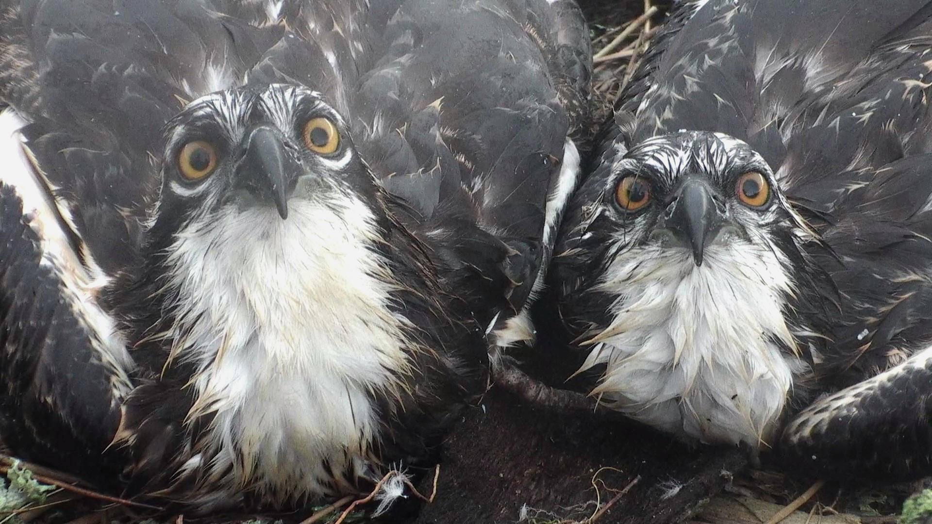The 2015 Glaslyn chicks