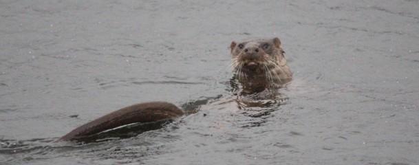 Otter Glaslyn 3--1