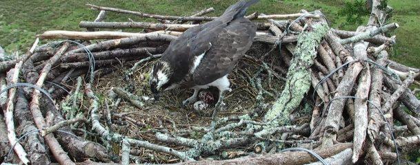 Second Egg Nest Q6035_2018-04-22_10_02_36_927