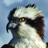 Glaslyn Osprey