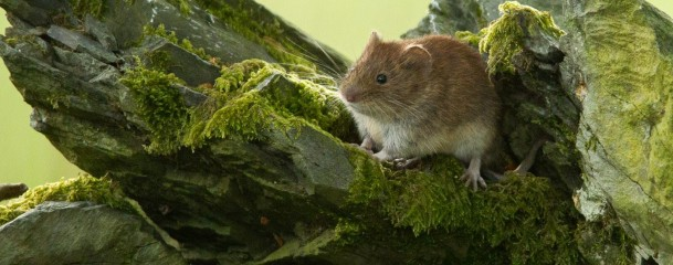 Mouse at the protection site